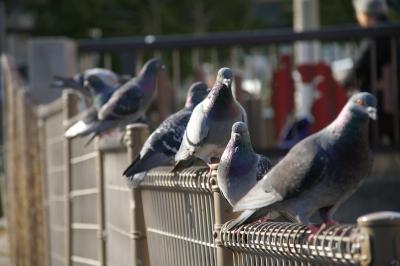 鳩の群れ。