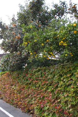 蔦が生い茂り、柿や夏みかんがたわわに実る。