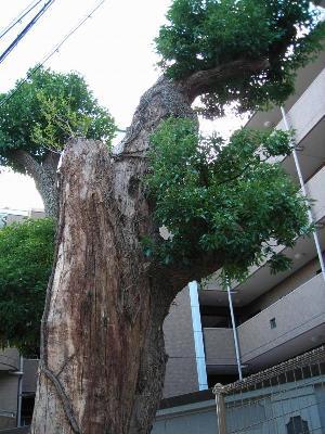 天城通の大木、その一。