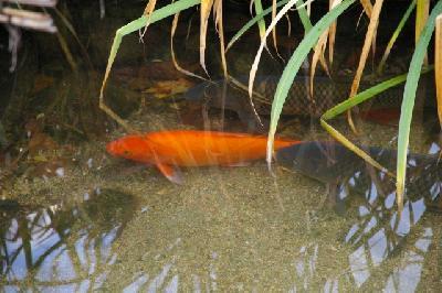 色鮮やかな錦鯉が数匹暮らしてます。