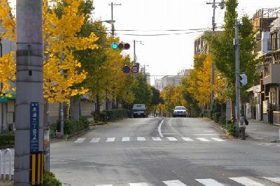 イチョウ並木。歩道は黄色い絨毯のように。