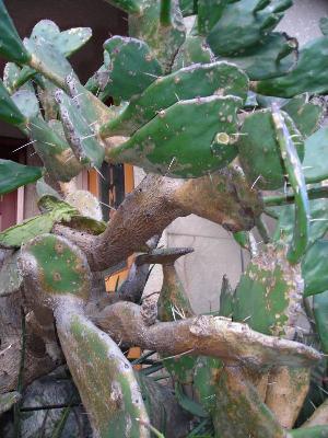 ウチワサボテンの木?